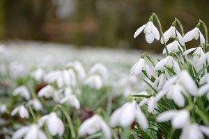 Burton Agnes Snowdrop Spectacular @ Burton Agnes Hall | Driffield | England | United Kingdom